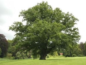 la-quercia-albero_NG3